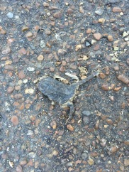 dead frog in the middle of the road...