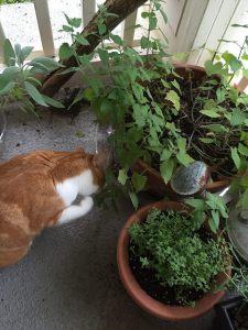 Ginger is sampling the harvest