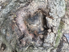 swirly heart in bark